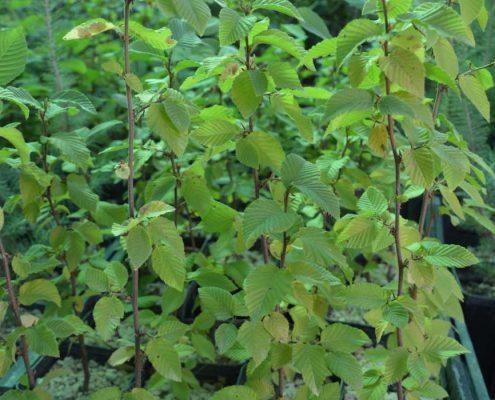 """Piante micorizzate: pro e contro della """"tartuficoltura"""""""